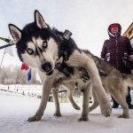 Новосибирск-собачьи гонки-1