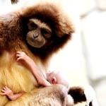 Лензоопарк-новорожденный гиббон-2